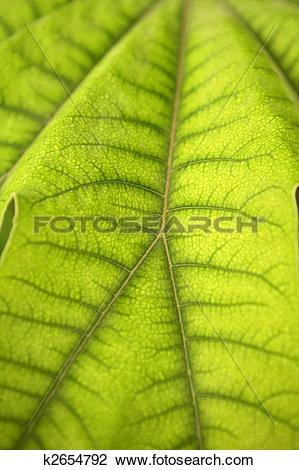 Stock Photo of Aralia papir�fera green plant leaf, Araliaceae.