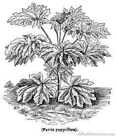 Illustration showing Swainsona formosa or Sturt's Desert Pea, an.