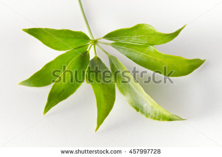 Araliaceae Foto, immagini royalty.