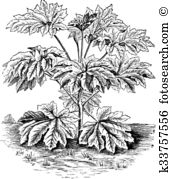 Araliaceae Clip Art and Illustration. 4 araliaceae clipart vector.