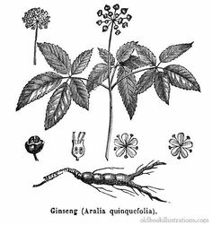 Illustration showing a Croton tiglium, known as Purging Croton, a.