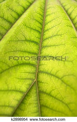 Stock Photo of Aralia papir?fera macro leaf detail Araliaceae from.
