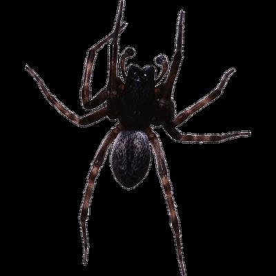 Large Black Spider transparent PNG.