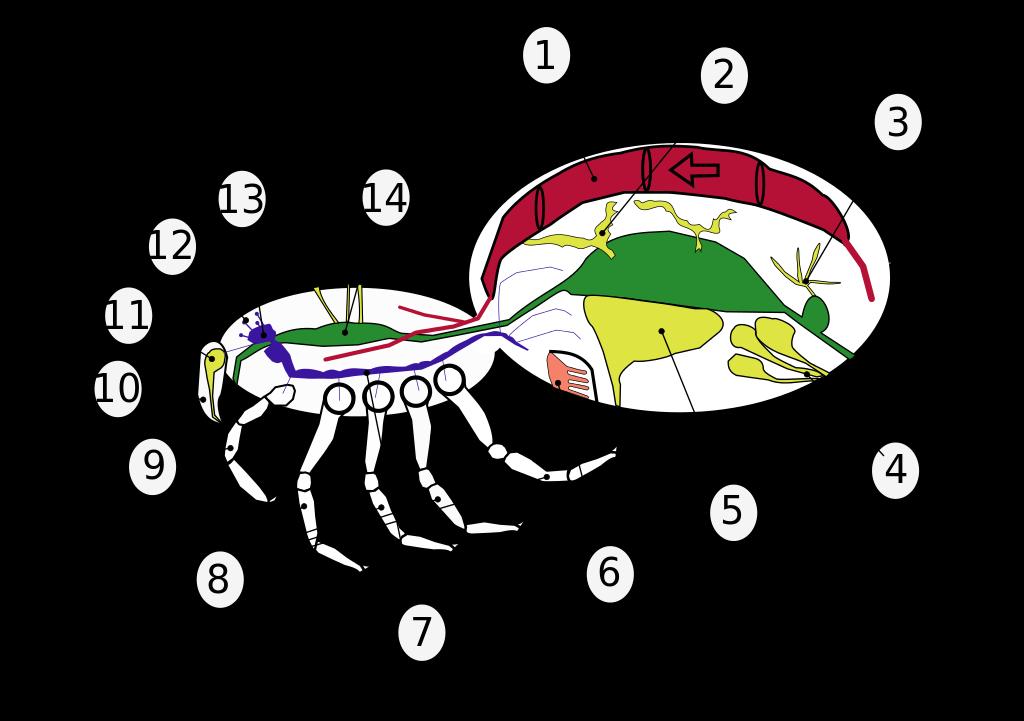 File:Araneae anatomic numbers.svg.