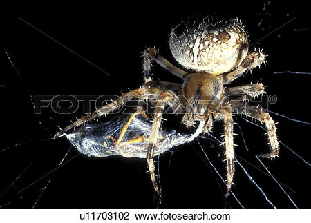 Stock Photo of arachnid, brown, black, araneae, animals u11703102.
