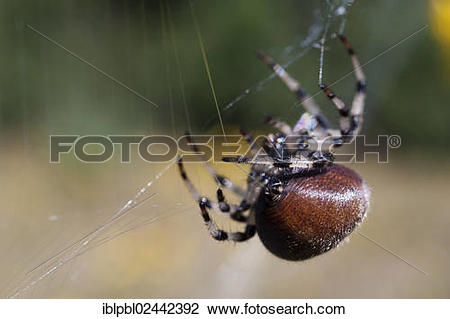 "Stock Photo of ""An Orb Weaver Spider (Araneidae) spins her web."