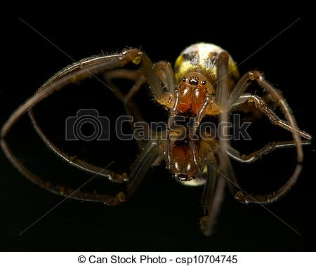 Stock Photo of Family Araneidae Phonognatha graeffei taken on the.