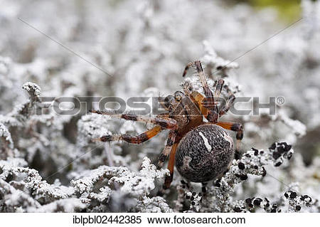 "Stock Image of ""An Orb Weaver Spider (Araneidae), Alaska."