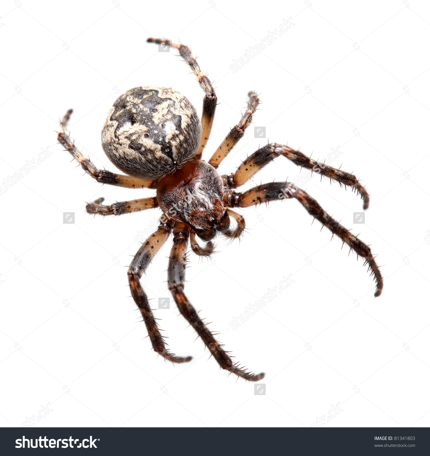 Garden Spider On Black Background Araneidae Stock Photo 81341803.