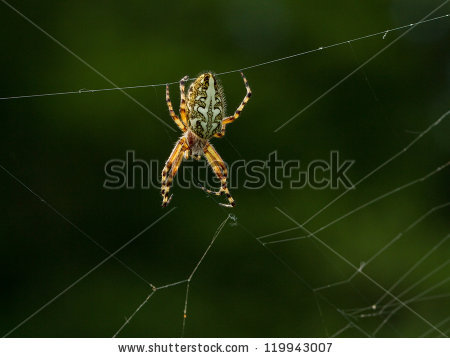 "aculepeira Ceropegia Arachnida"" Stock Photos, Royalty."