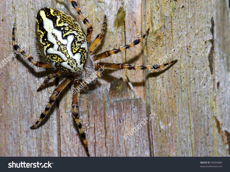 Oak Spider Aculepeira Ceropegia On Trunk Stock Photo 58584880.