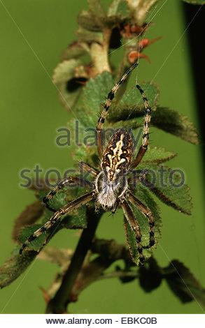 Araneidae Stock Photos & Araneidae Stock Images.