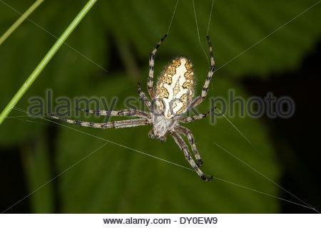Spinnen Stock Photos & Spinnen Stock Images.
