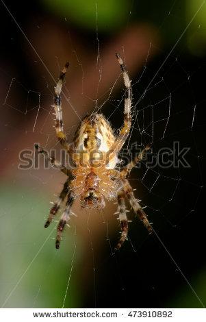 Macrophotography Arachnid Aculepeira Ceropegia Stock Photo.