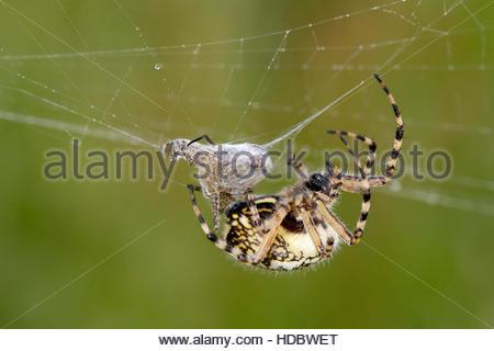 Araneae Stock Photos & Araneae Stock Images.