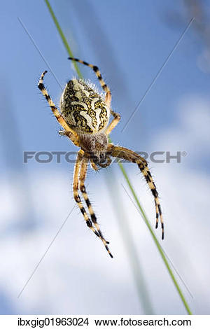 Stock Photo of Oak spider (Aculepeira ceropegia) ibxgig01963024.