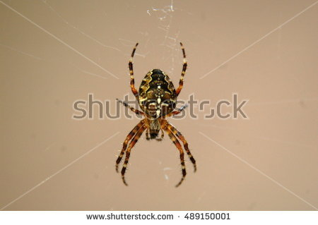 Aculepeira Ceropegia Arachnida Stock Photos, Royalty.