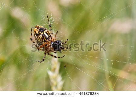 Oak Spider Stock Photos, Royalty.