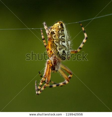 Orb Web Spider Stock Photos, Royalty.
