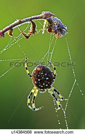 Pictures of Shamrock spider (Araneus trifolium) with dew, Burnaby.
