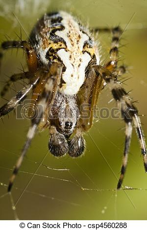 Pictures of Araneus type spider.