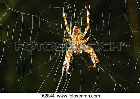 Stock Photo of European garden spider in web / Araneus diadematus.