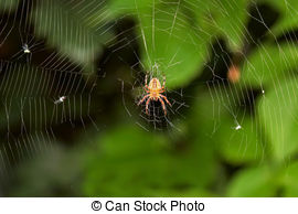 Araneus diadematus Illustrations and Clipart. 8 Araneus diadematus.