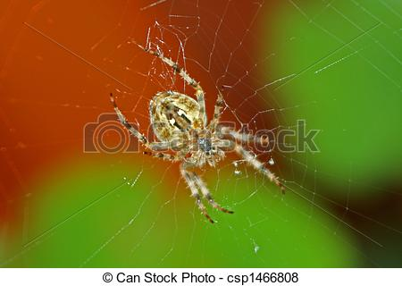 Pictures of European garden spider (Araneus diadematus).