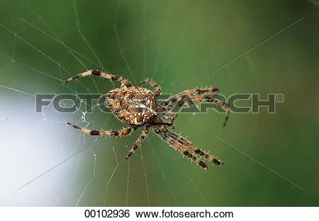 Stock Images of European garden spiders, Araneus, European garden.