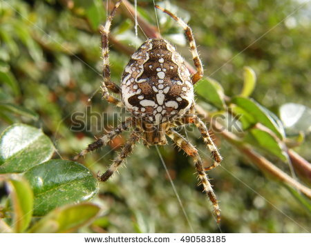 Diadematus Araneus Stock Photos, Royalty.
