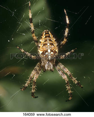 Stock Photograph of European garden spider in web / Araneus.