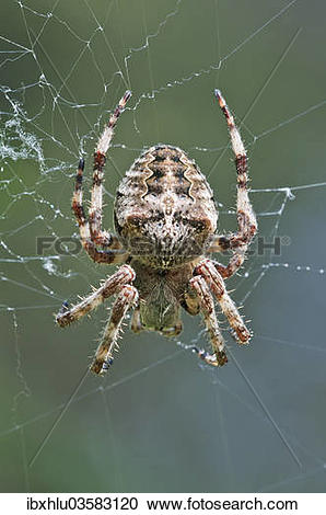 "Stock Photography of ""Orb Weaver (Araneus circe), female, Mount."