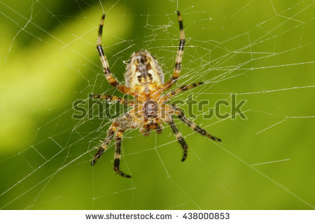 Cross Spider Araneus Diadematus Stock Photo 62060251.