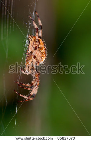 Araneus Diadematus Stock Photos, Royalty.