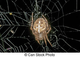 Stock Photography of Araneus diadematus.
