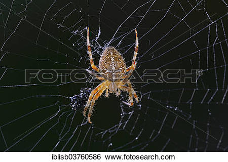 "Stock Images of ""European Garden spider (Araneus diadematus) in."