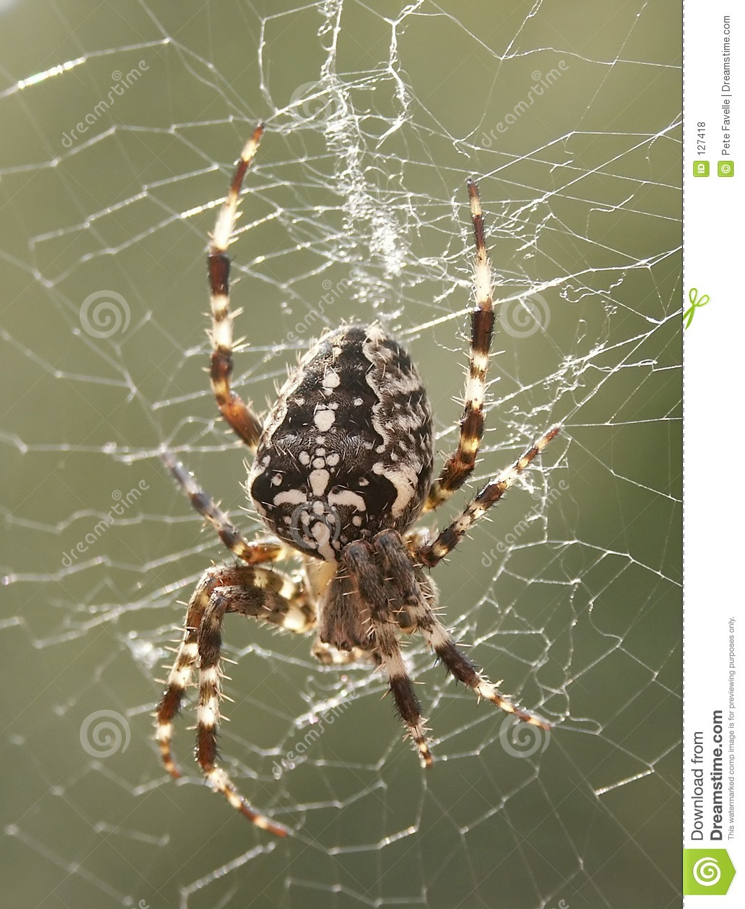 Araneus Diadematus Royalty Free Stock Photos.