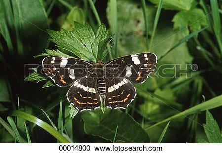 Stock Photography of animals, Araschnia levana, animal.