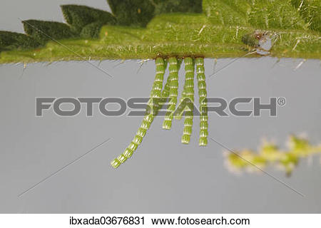"""Stock Photography of """"Long strings of eggs from the Map butterfly."""