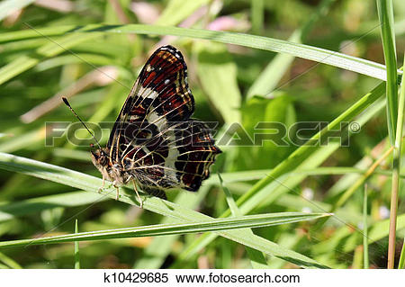 Stock Image of Map Butterfly, Araschnia levana second generation.