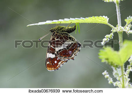 """Stock Photograph of """"Map butterfly (Araschnia levana) laying eggs."""
