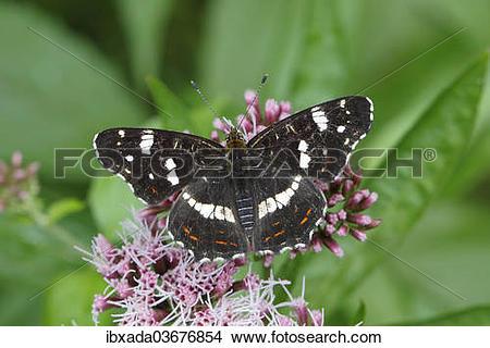 "Stock Photo of ""Map butterfly (Araschnia levana), summer."