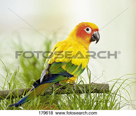 Pictures of Sun Conure (Aratinga solstitialis) perched on a twig.