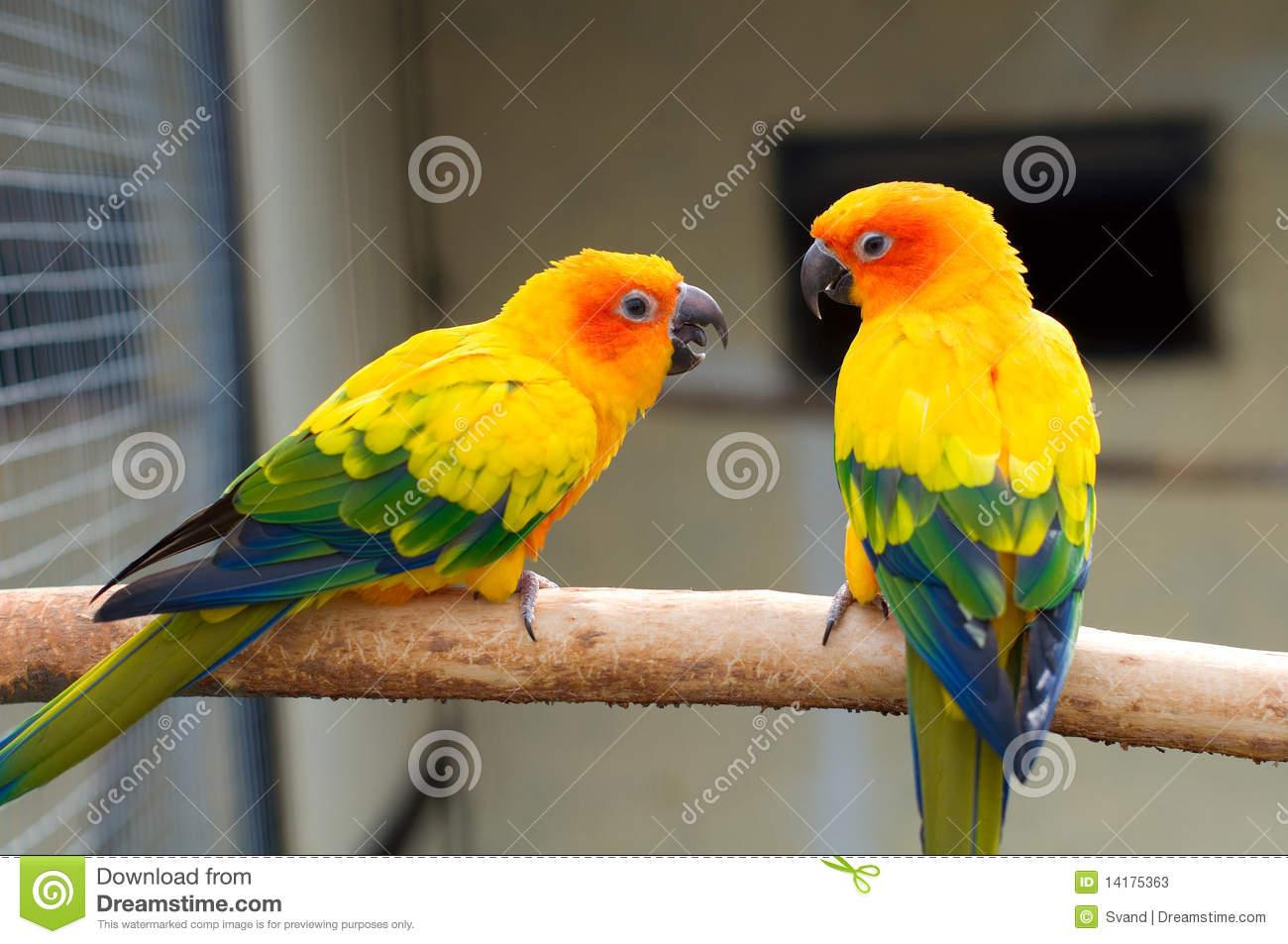 Sun Parakeet. Aratinga Solstitialis Stock Photos.