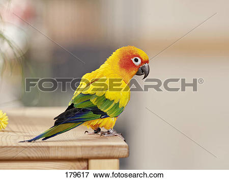 Picture of Sun Conure (Aratinga solstitialis) standing on a wooden.