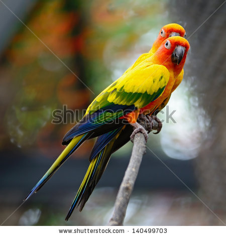 Aratinga Solstitialis Stock Photos, Royalty.