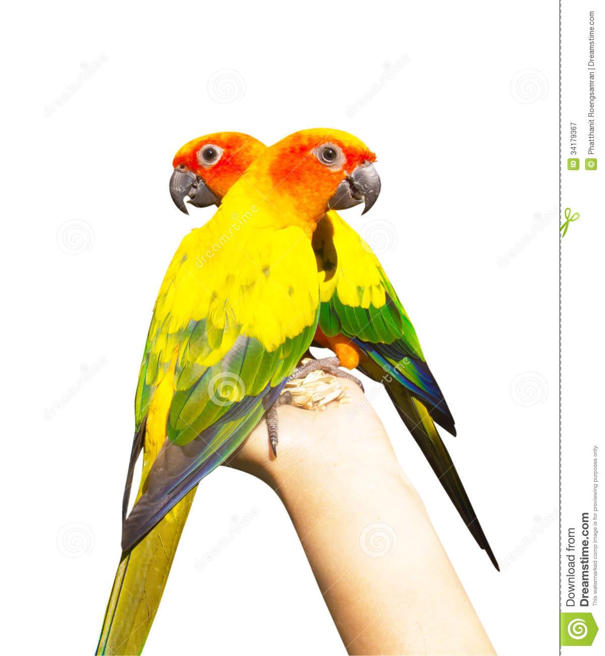 Beautiful Colorful Parrot, Sun Conure (Aratinga Solstitialis), G.