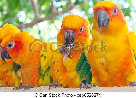 Stock Photo of The Sun Parakeet or Sun Conure (Aratinga.