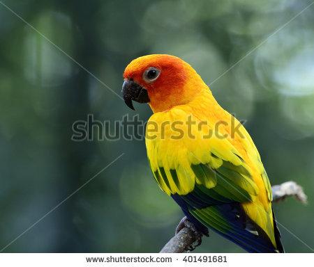Sun Parakeet Sun Conure Aratinga Solstitialis Stock Photo.