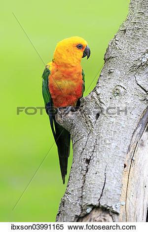 """Stock Image of """"Sun Parakeet (Aratinga solstitialis jandaya."""